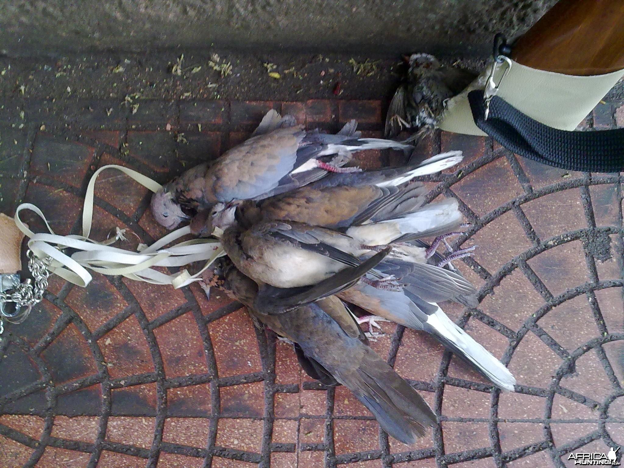 Hunting Doves in Egypt