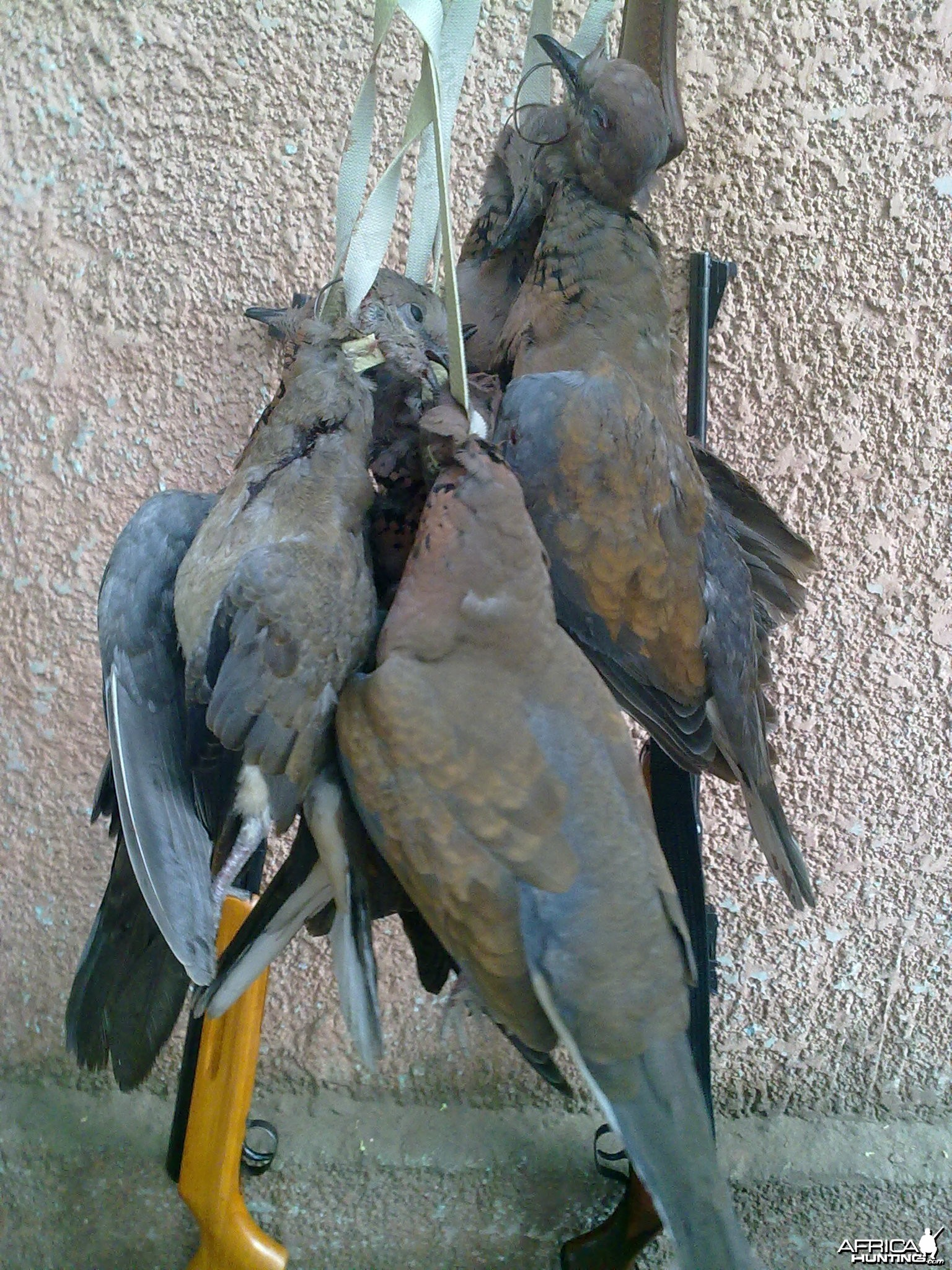 Hunting Doves in Egypt
