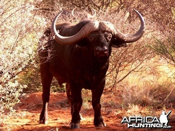 Buffalo Bull at Wintershoek Johnny Vivier Safaris in SA