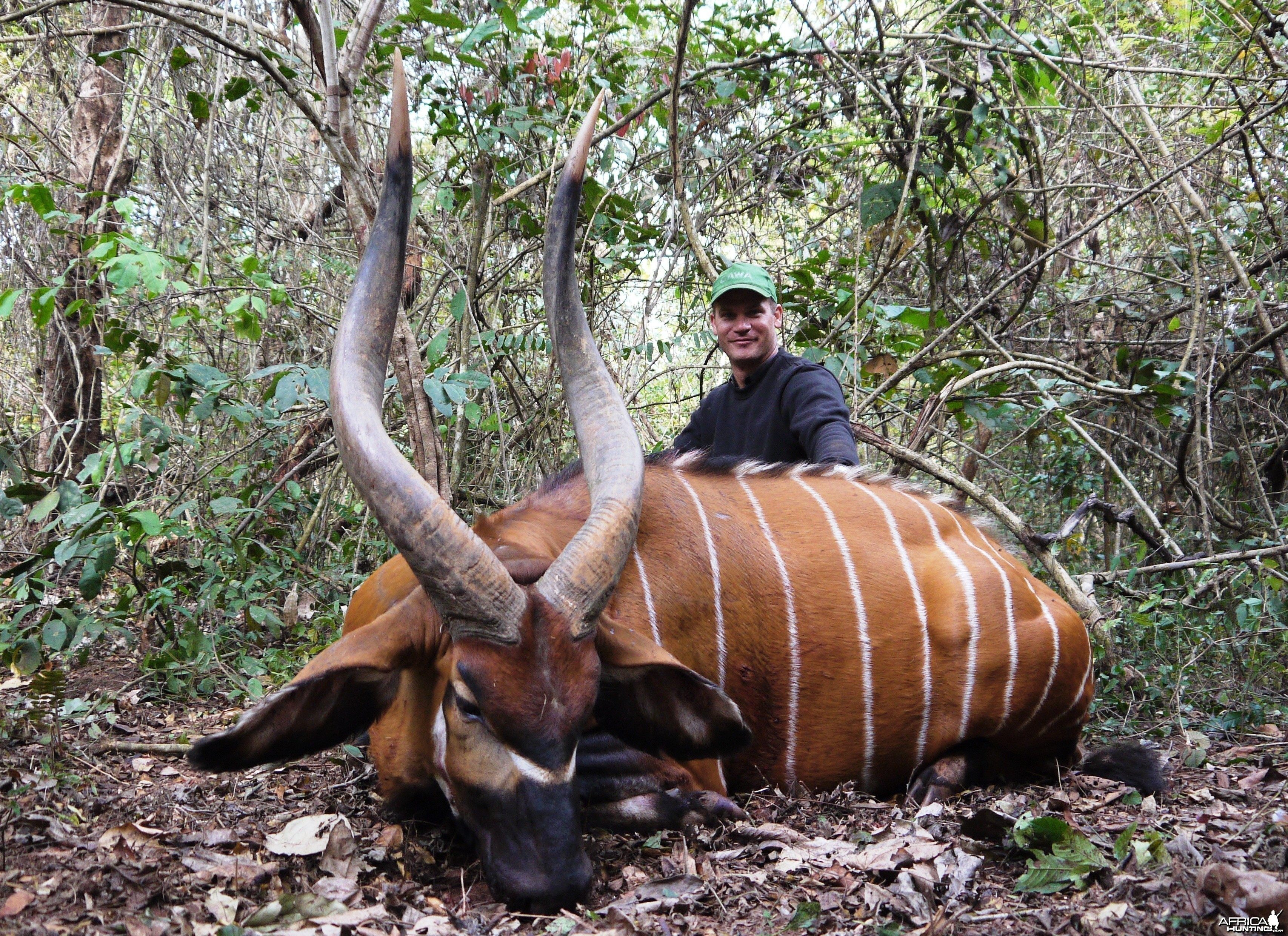 Magnificent 37 inch (94,5 cm) Bongo hunted in CAR