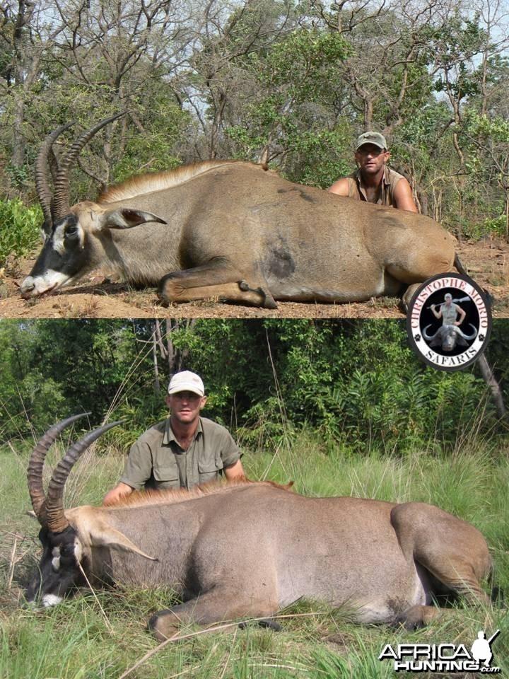 Two 27 inch Roan Bulls