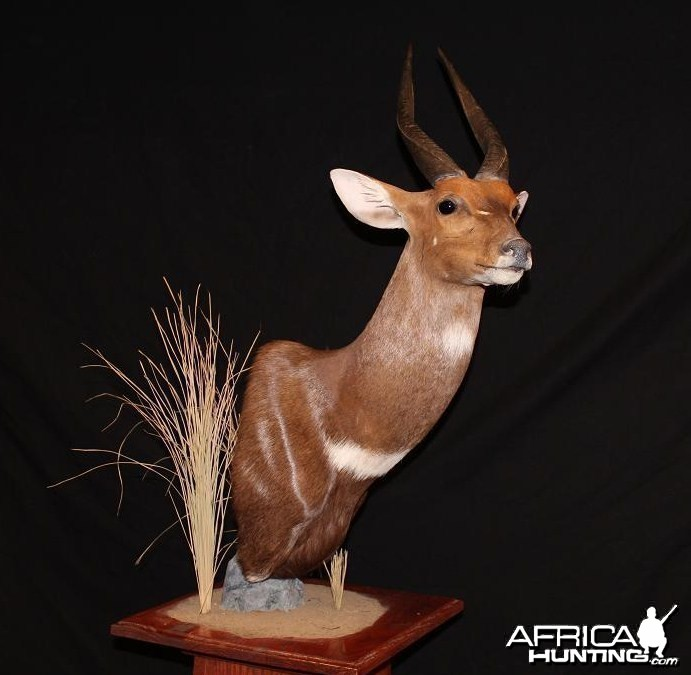 Bushbuck Taxidermy