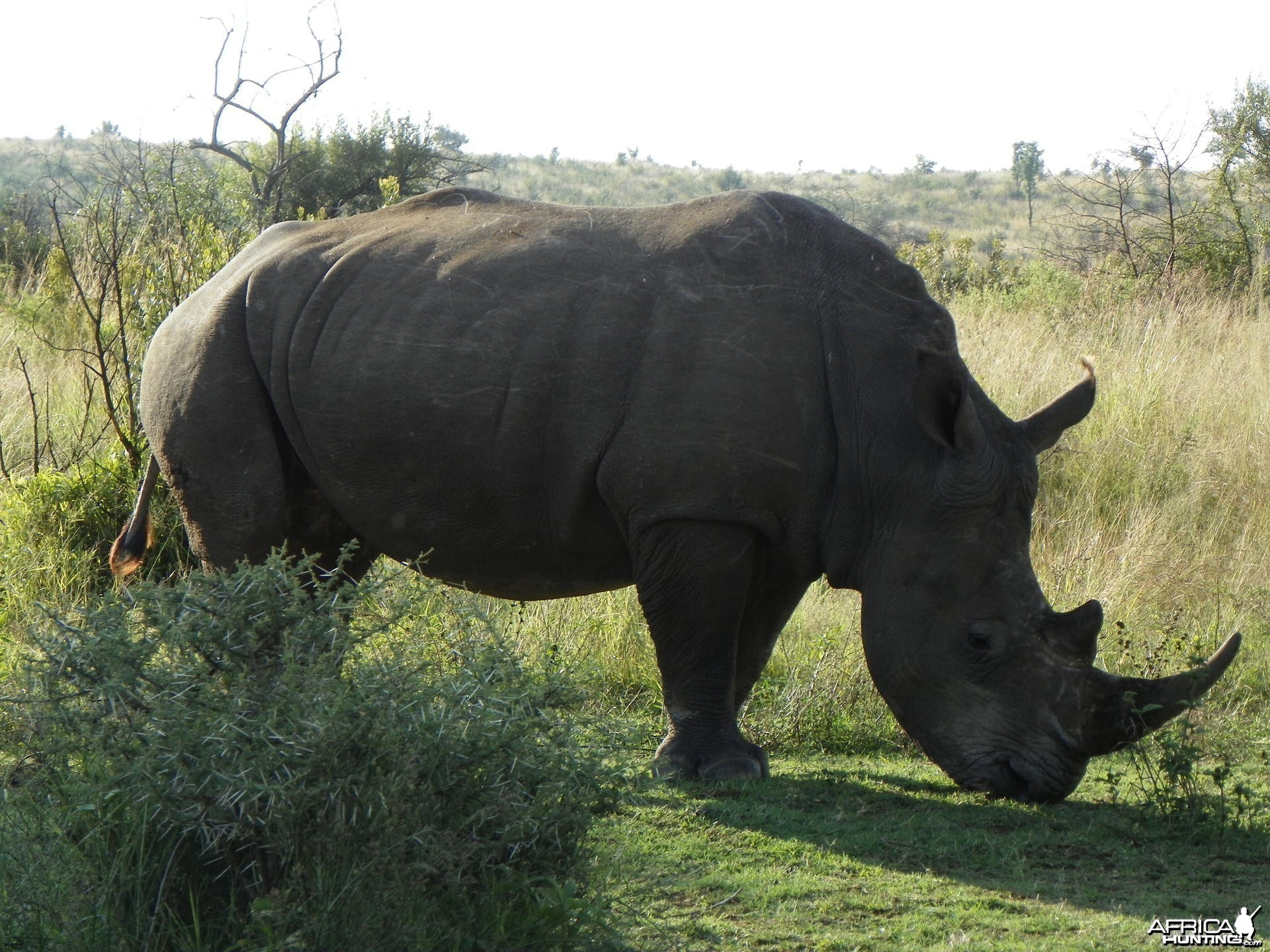 Rhino at Pilannisburg National Park South Africa
