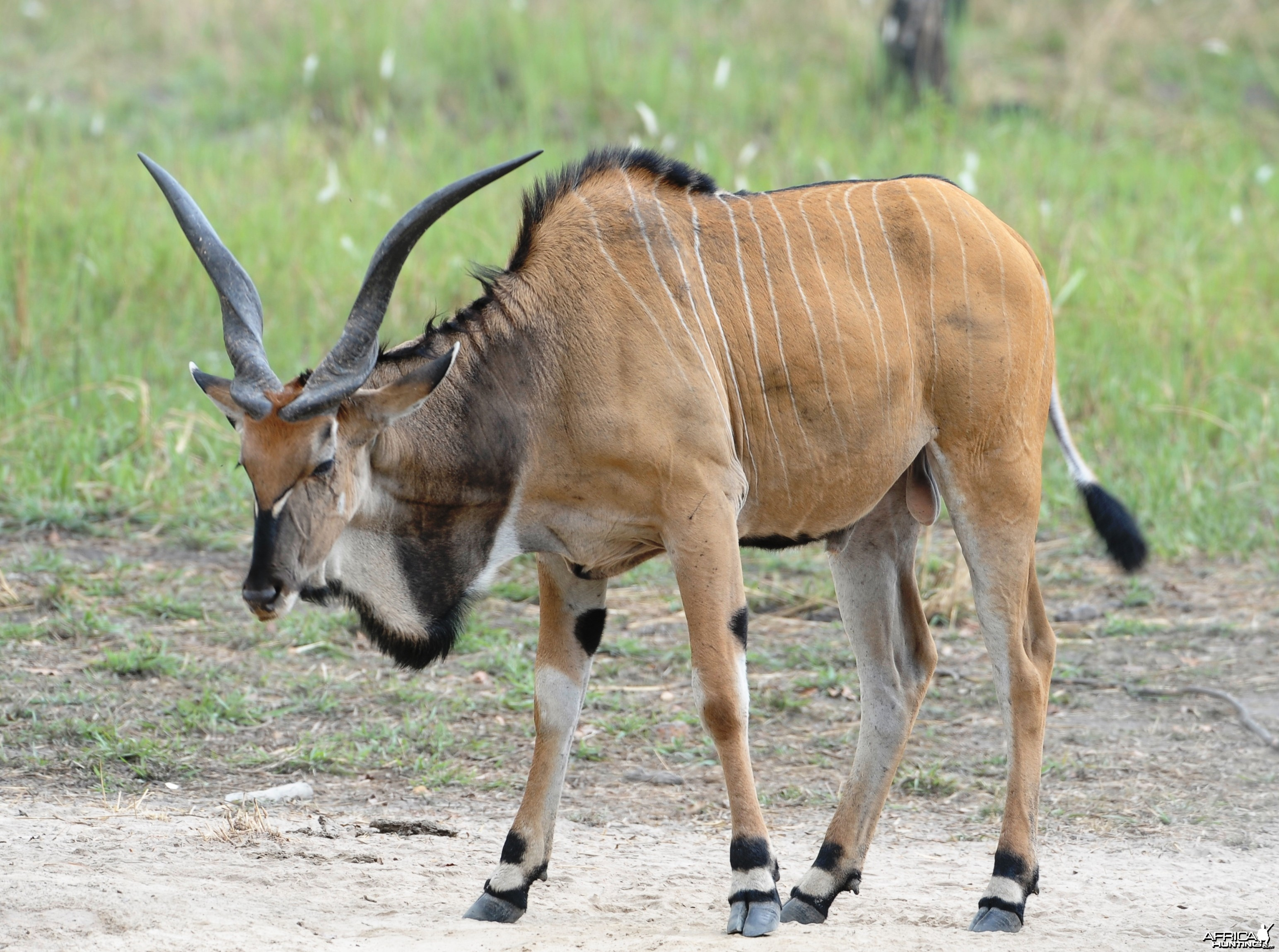 Young Lord Derby Eland Bull