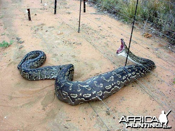Python caught in a fence