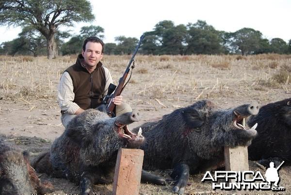 Wild Boars shot in Argentina