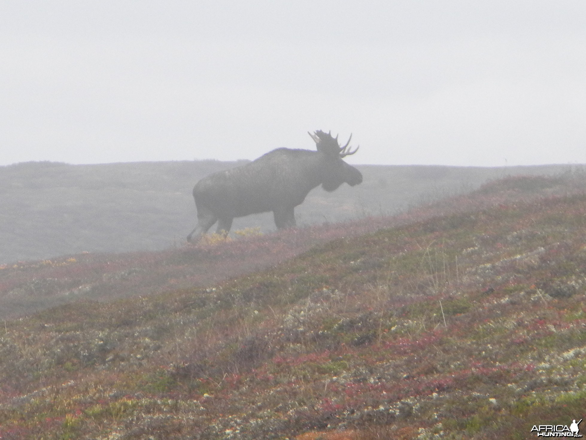 Moose 2009 Alaska