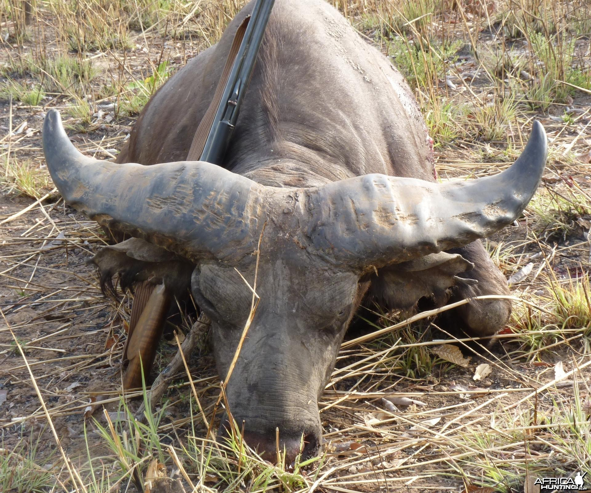 Record Buffalo hunted in Benin