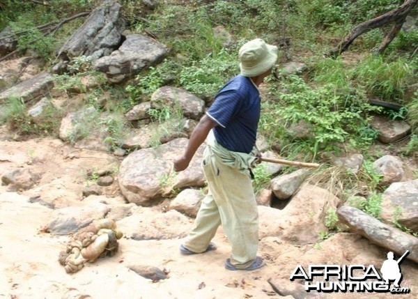 Dragging Baits for leopard in Zimbabwe