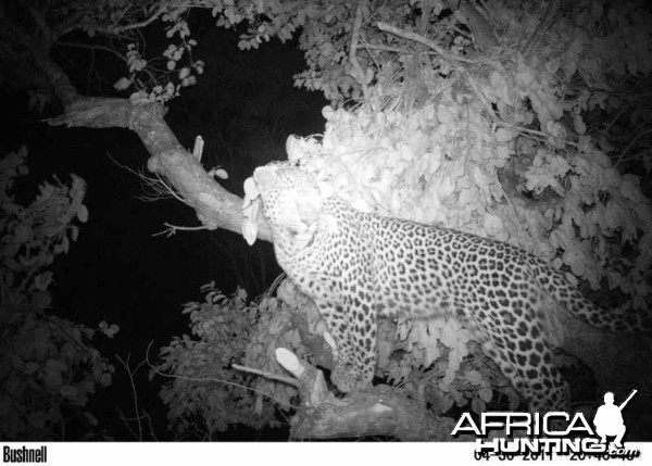 Young Male Leopard on Bait in Zimbabwe