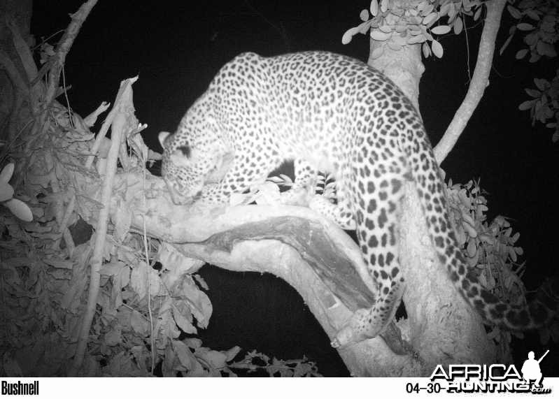 Female Leopard on Bait in Zimbabwe