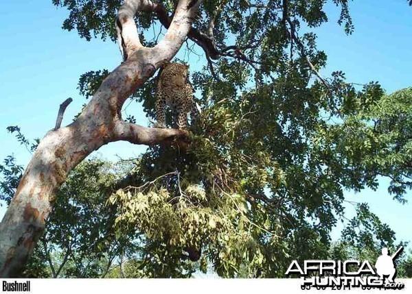 Leopard on Bait in Zimbabwe