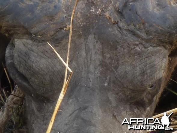 Buffalo Benin