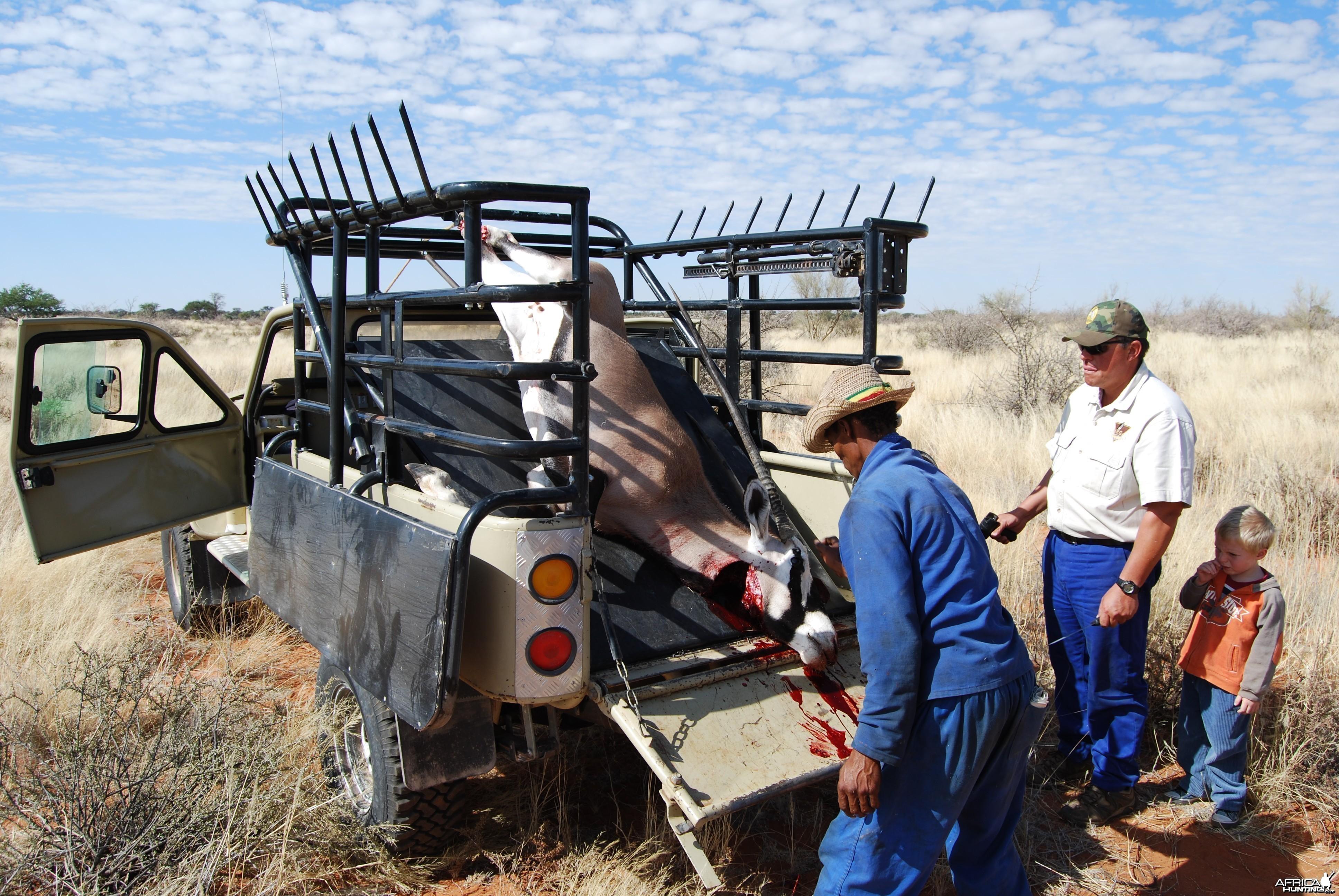 Loading Oryx (heifer)
