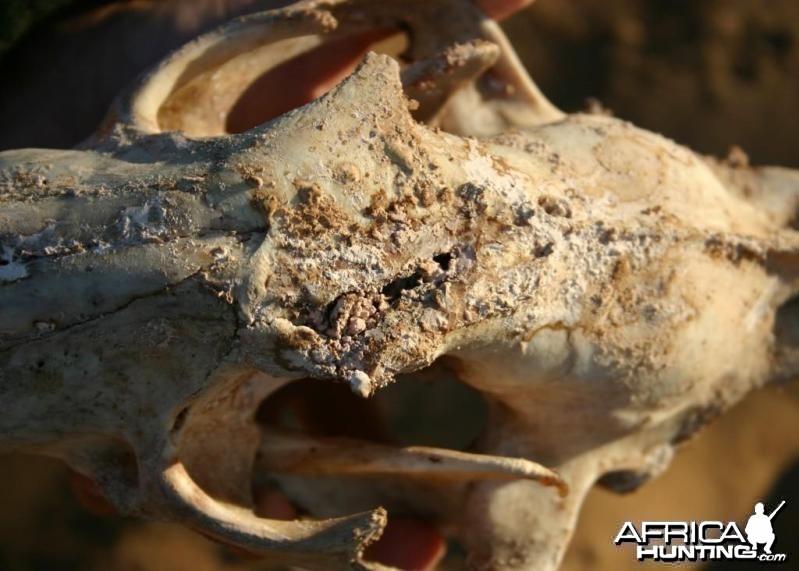 Leopard Skull