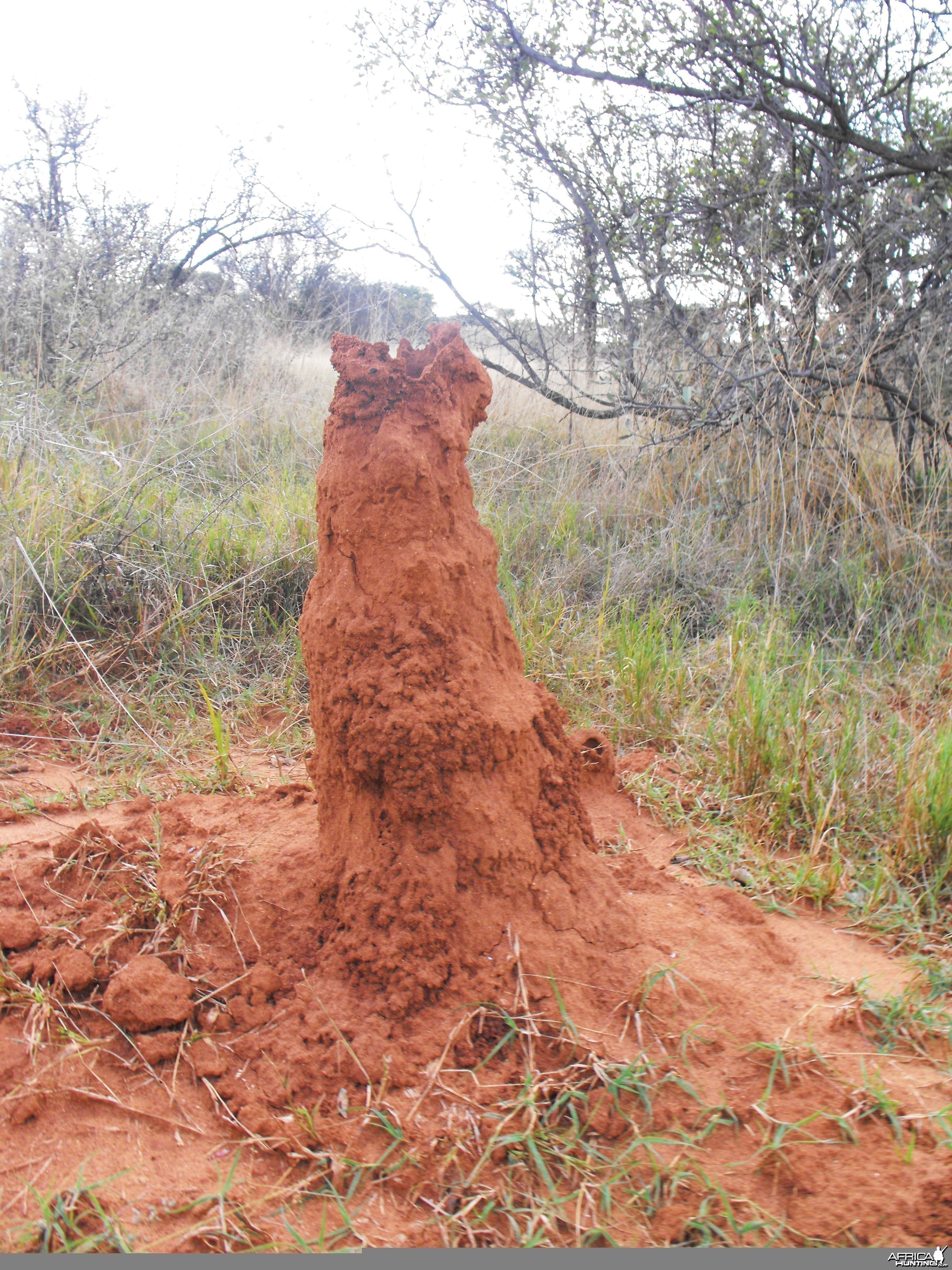 Cool ass evacuated termite mound. . .