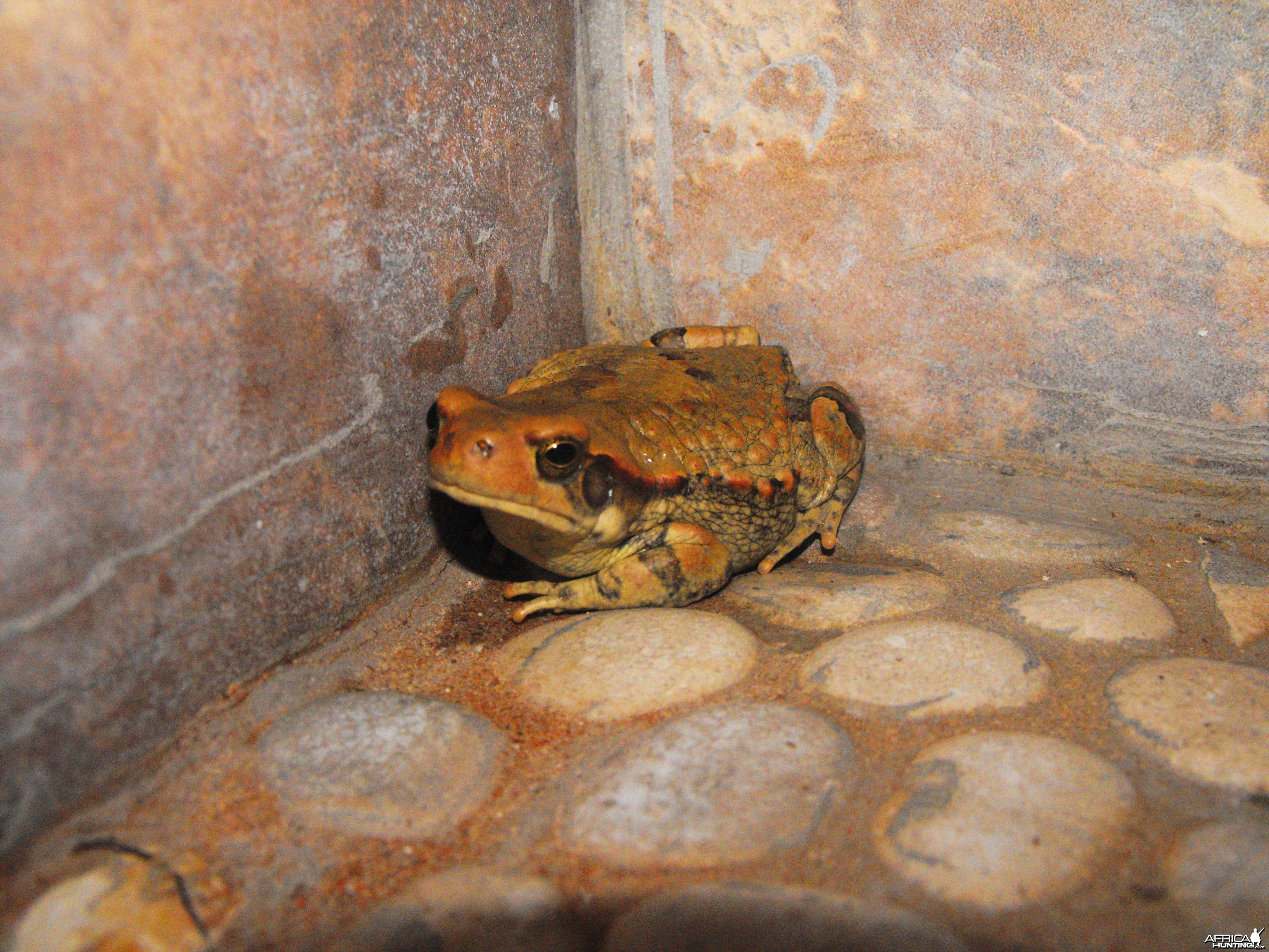 Cute little, yet welcomed toad that subbornly kept ending up in our shower.