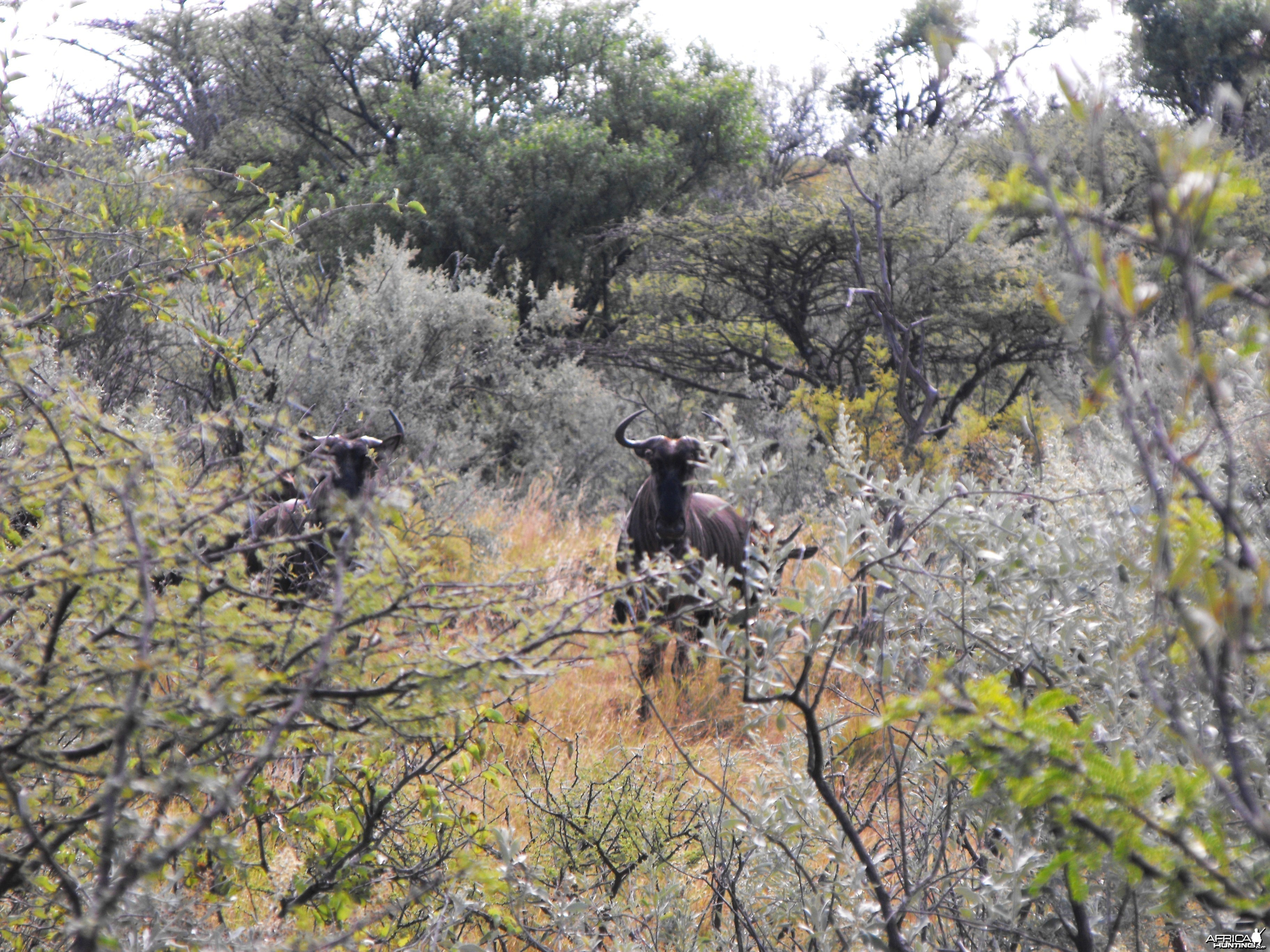 Surprise - Blue wildebeest scaring the crap outta me - thinking they were b