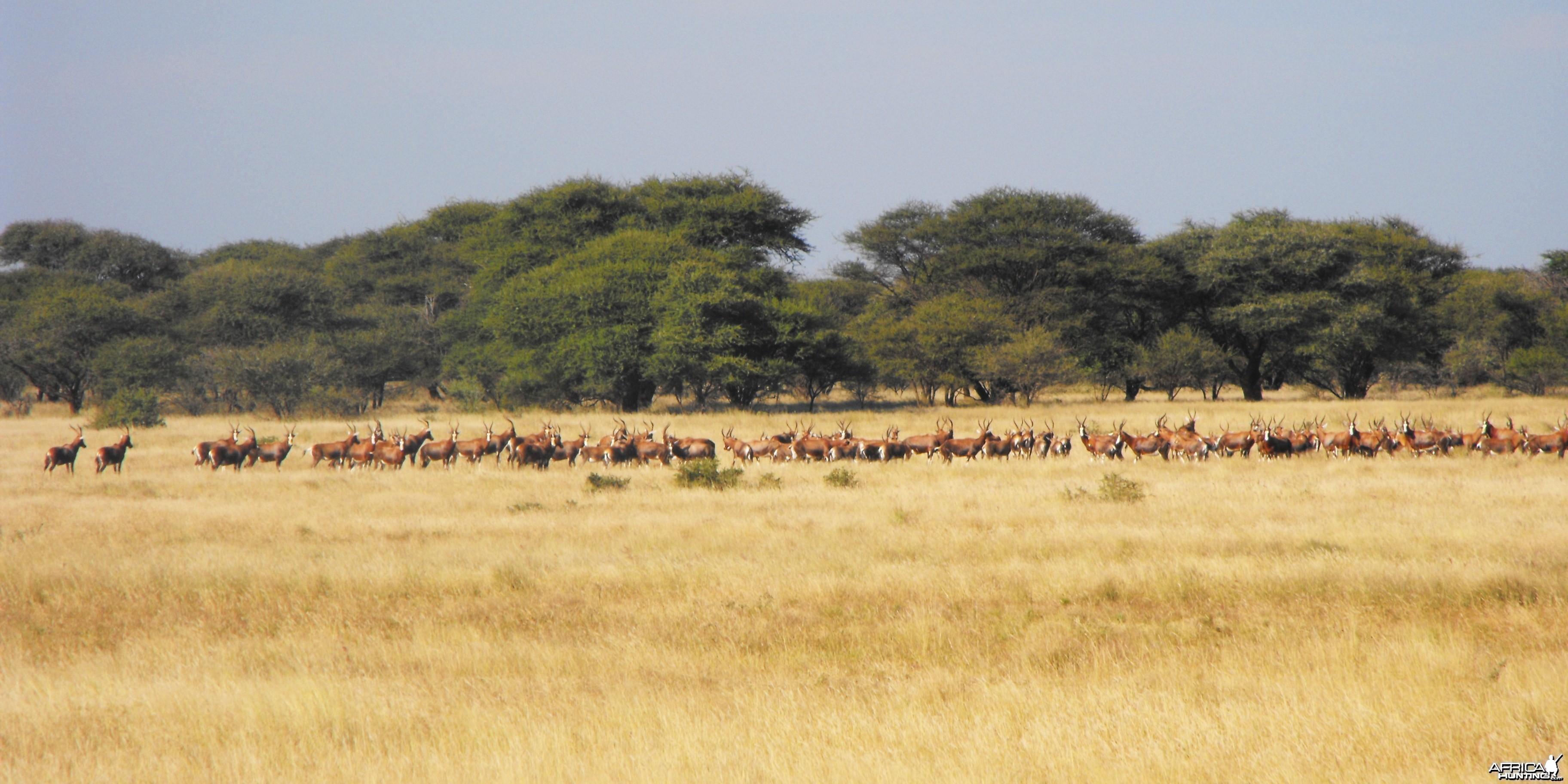 Nice group of Blesbok