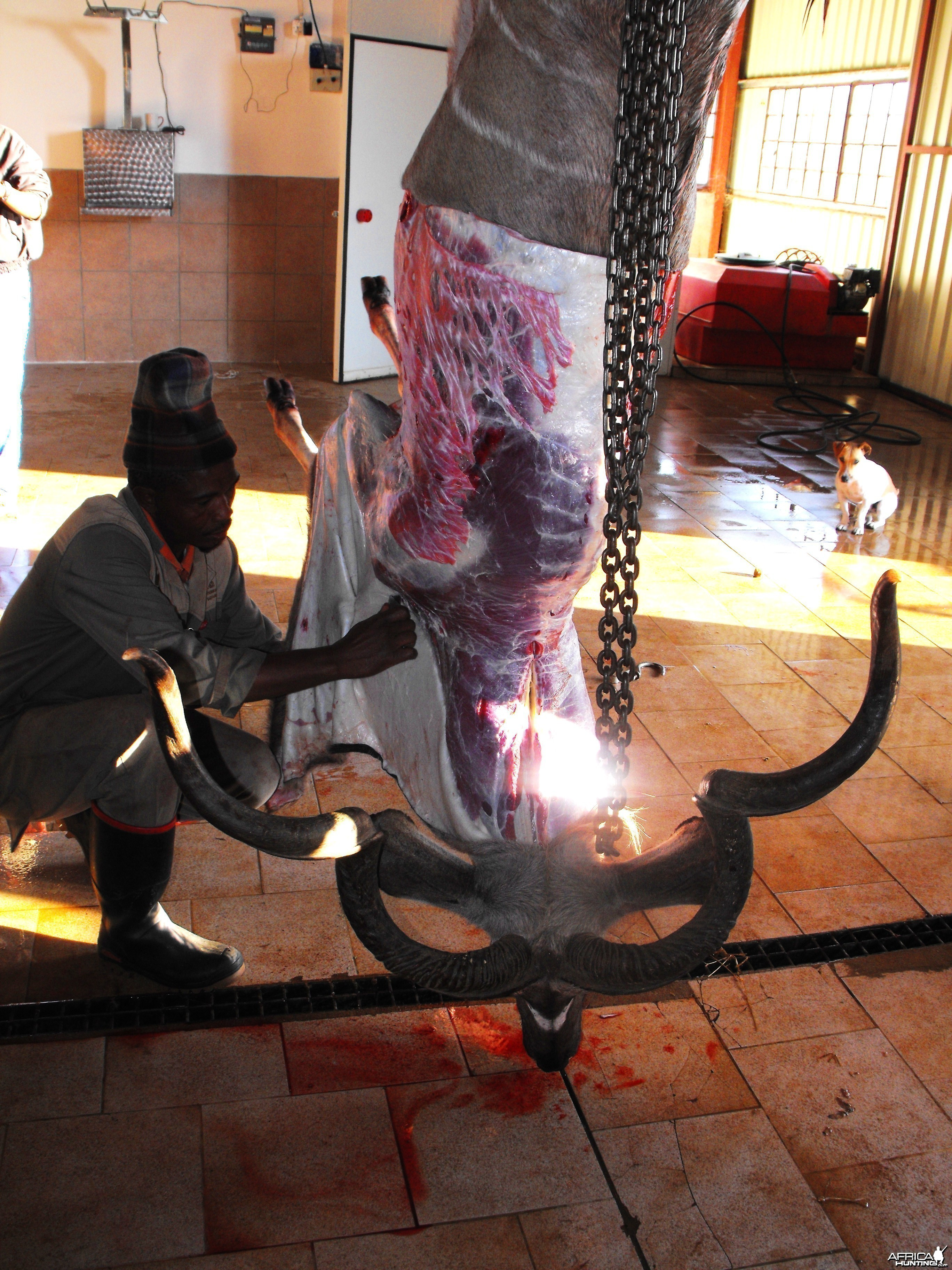 Caping out Alexeis Kudu bull