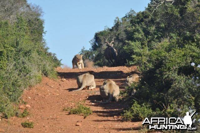 Failed Lion Ambush