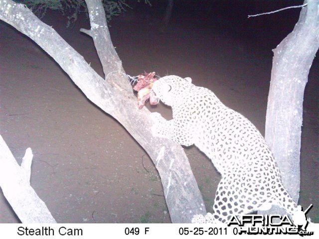 Leopard on Bait in Namibia