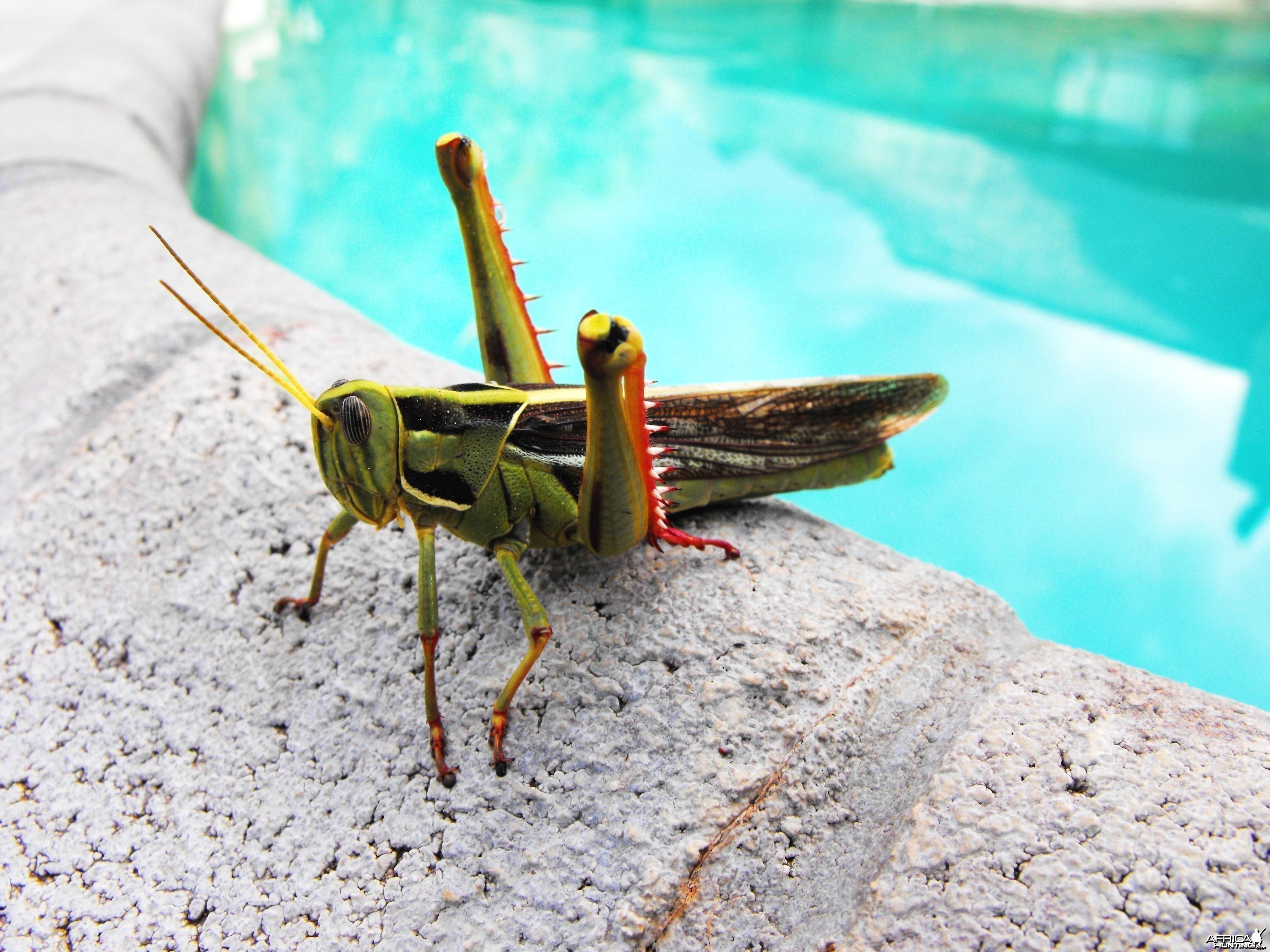 Monster grasshopper by the ppol