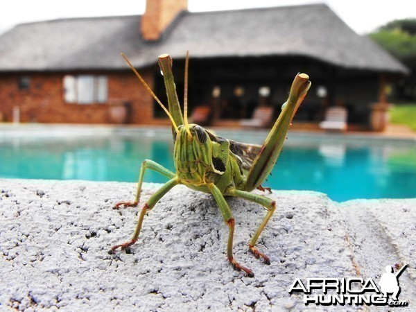 Monster grasshopper by the pool