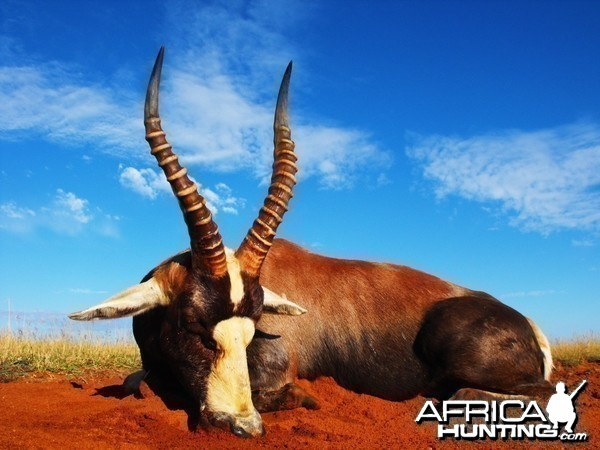 My brothers first African animal - Nice 17 inch Blesbok
