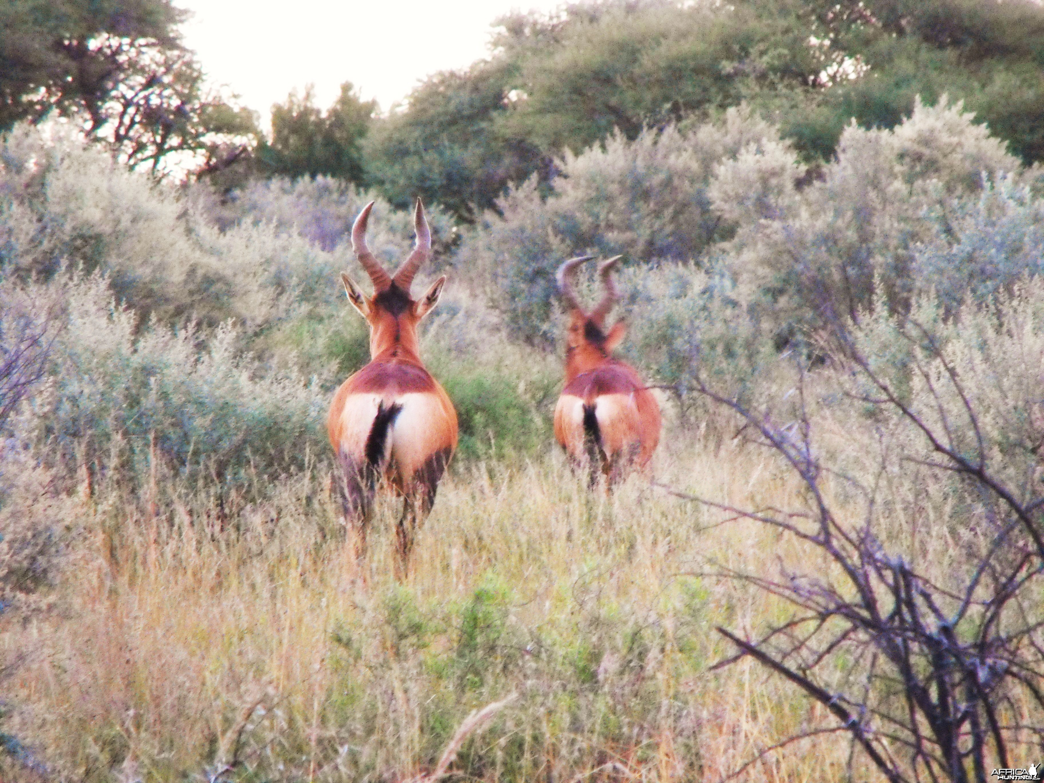 Fleeting glimps at some Red Hartebeest