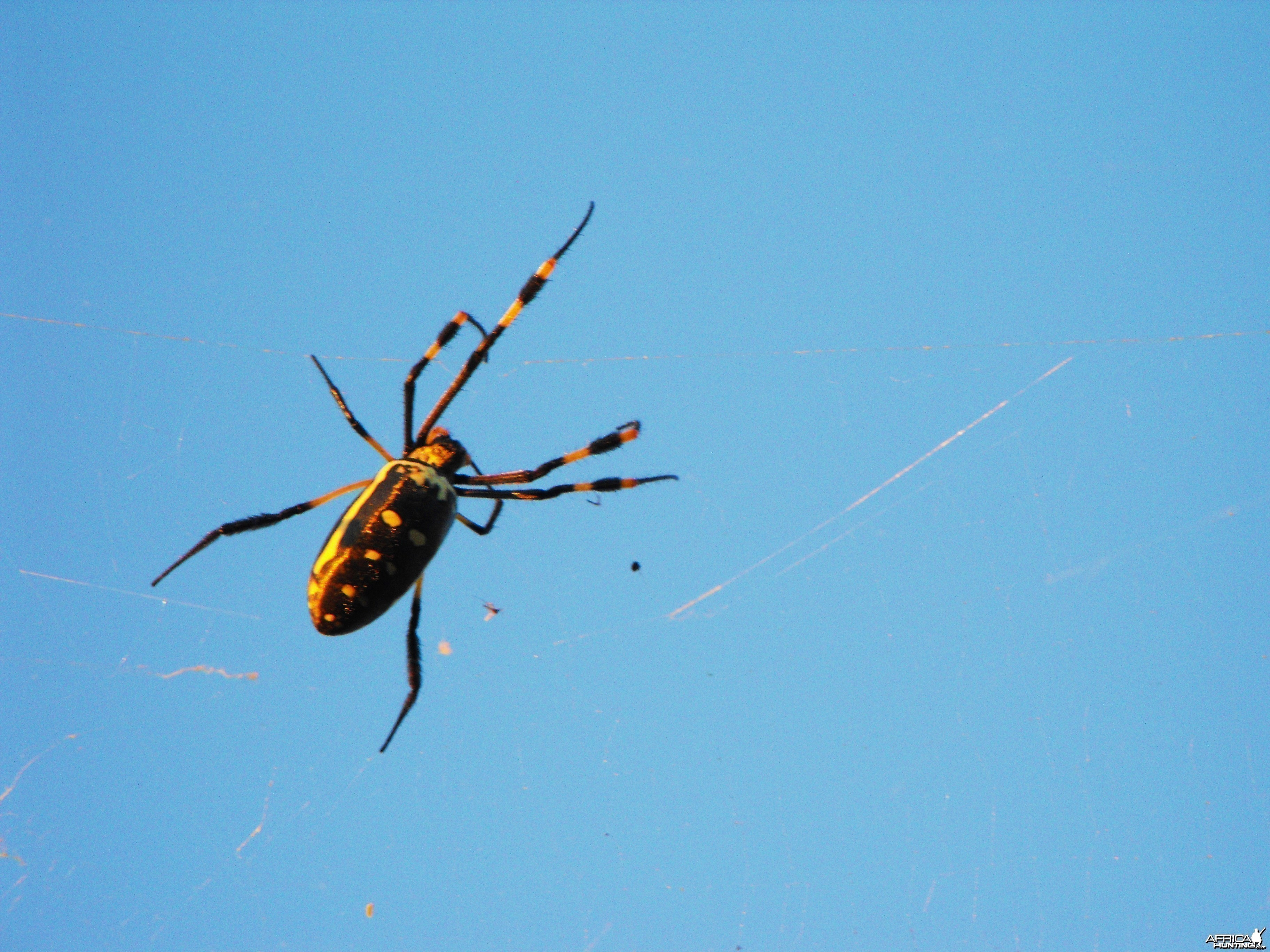 Classic and Massive species of orb weaver spider