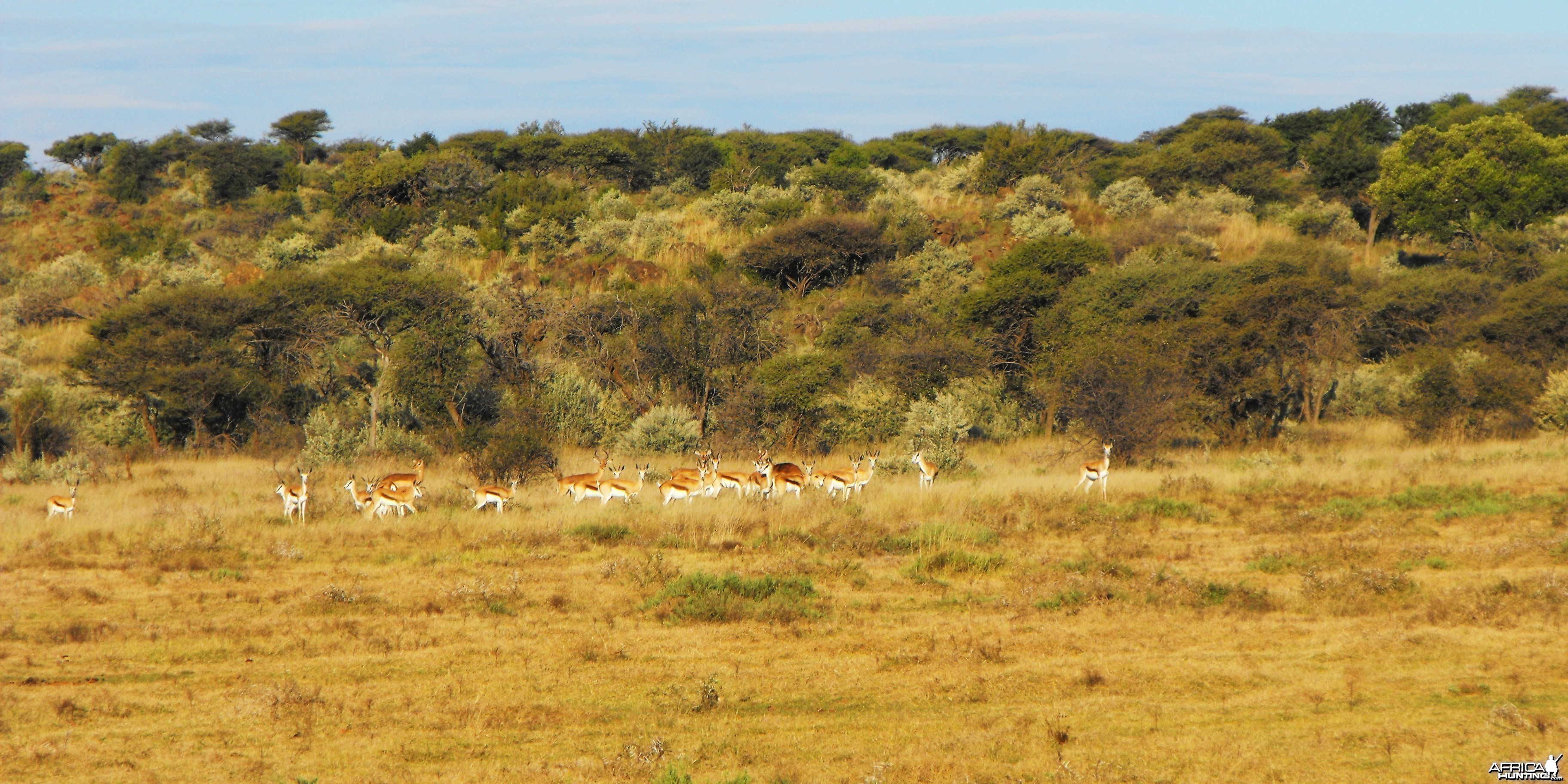 Springbok, and a few immature Impala rams