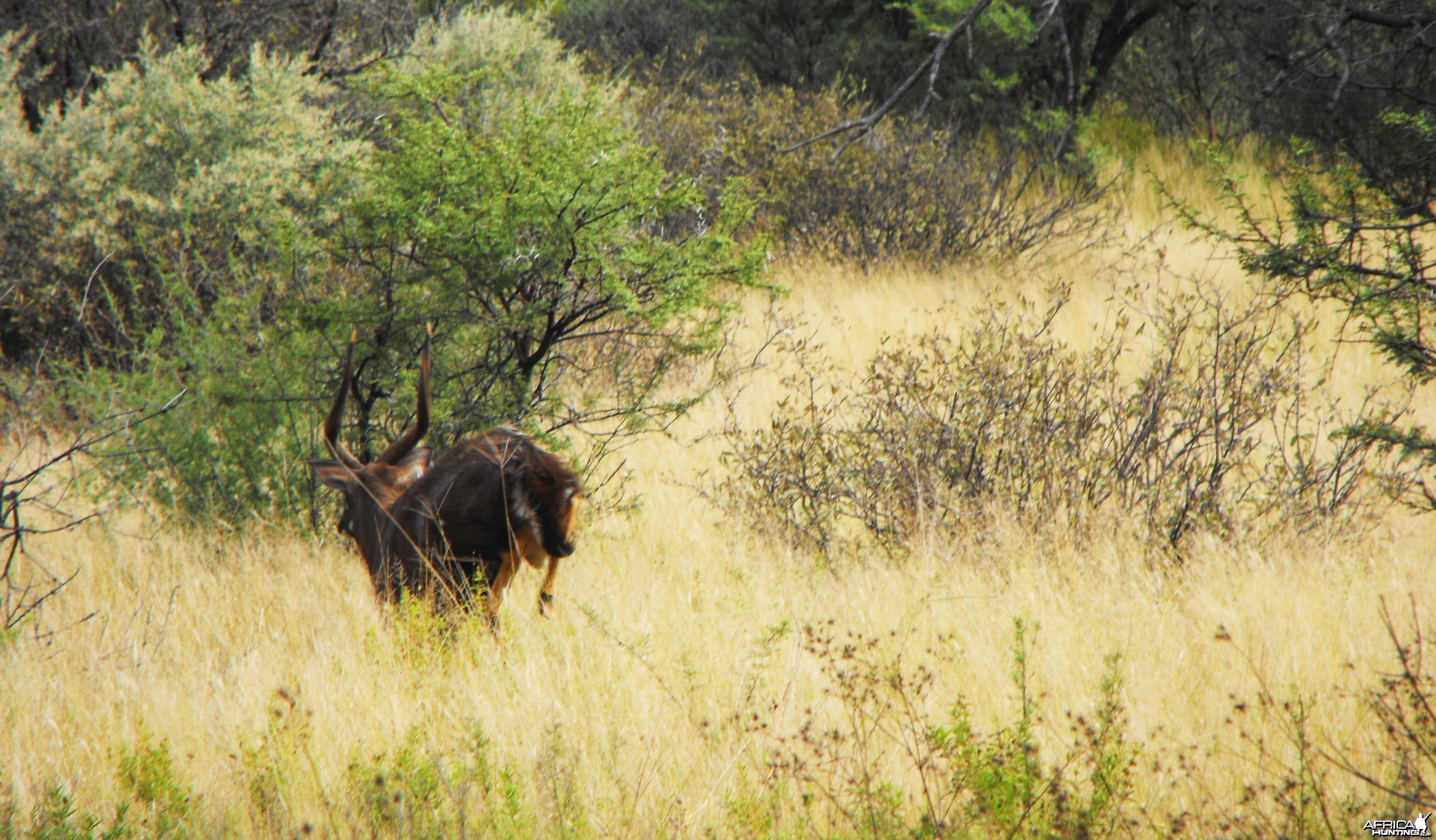 Nice Nyala bull peacing off