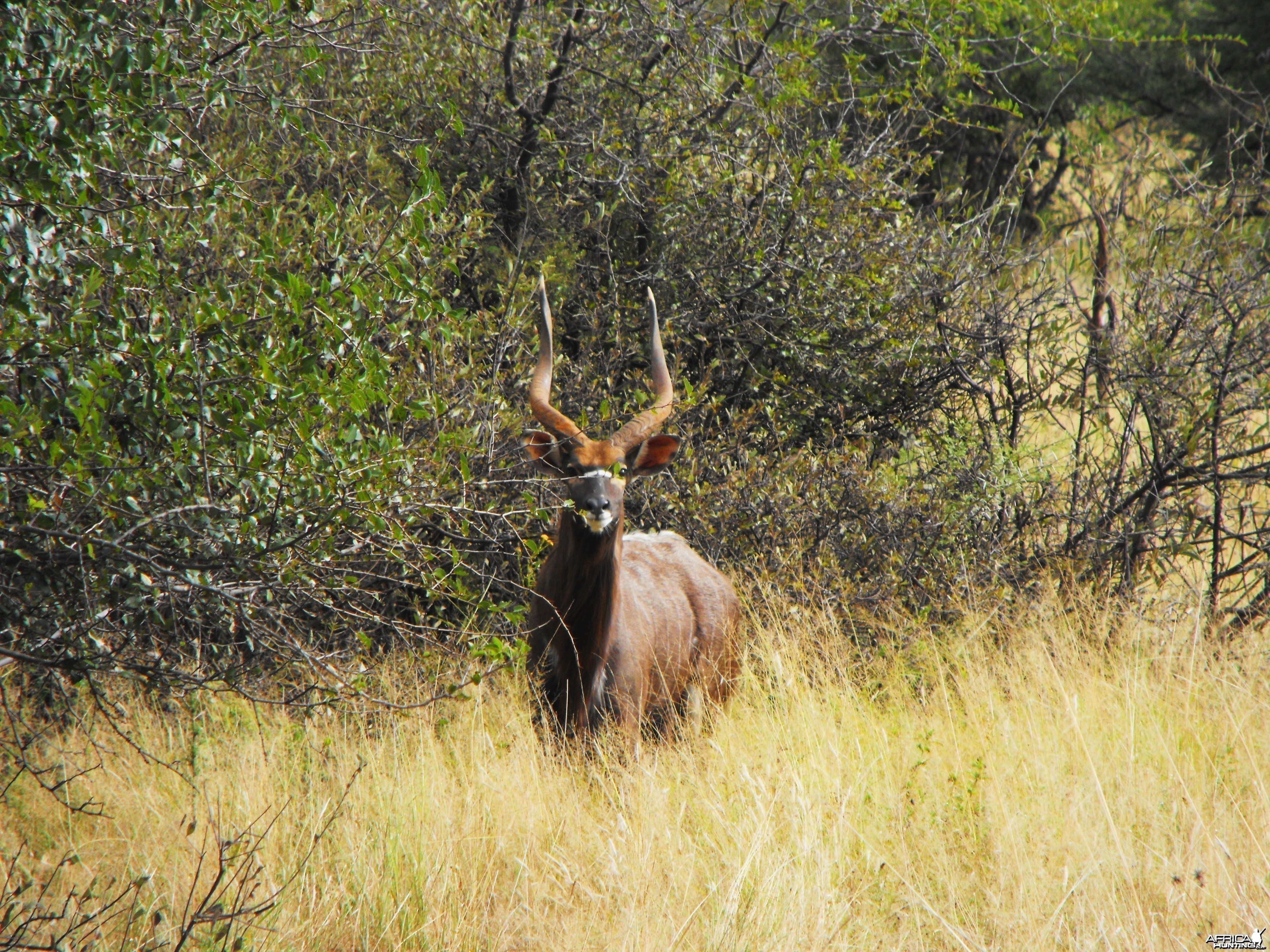 A nice Nyala bull we named 'Lopside'