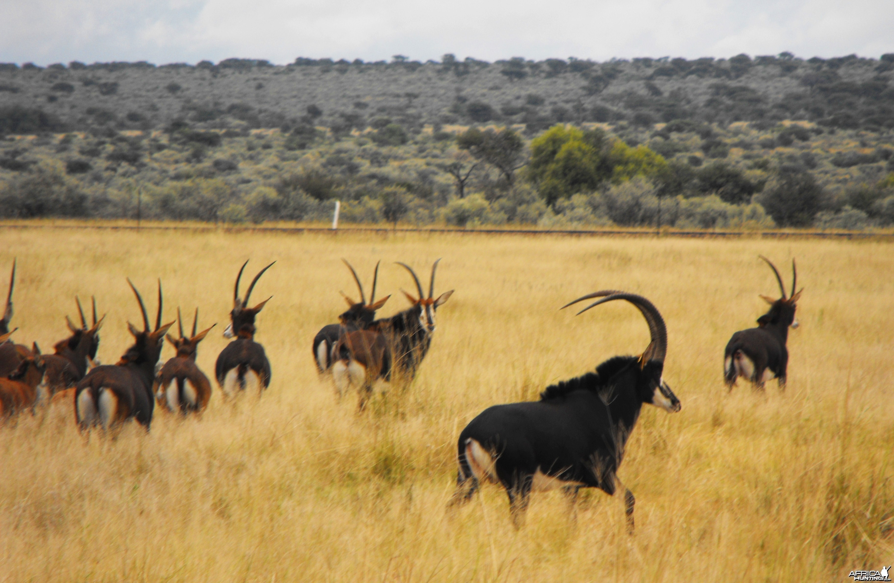 First look at a herd of Sable! Wow