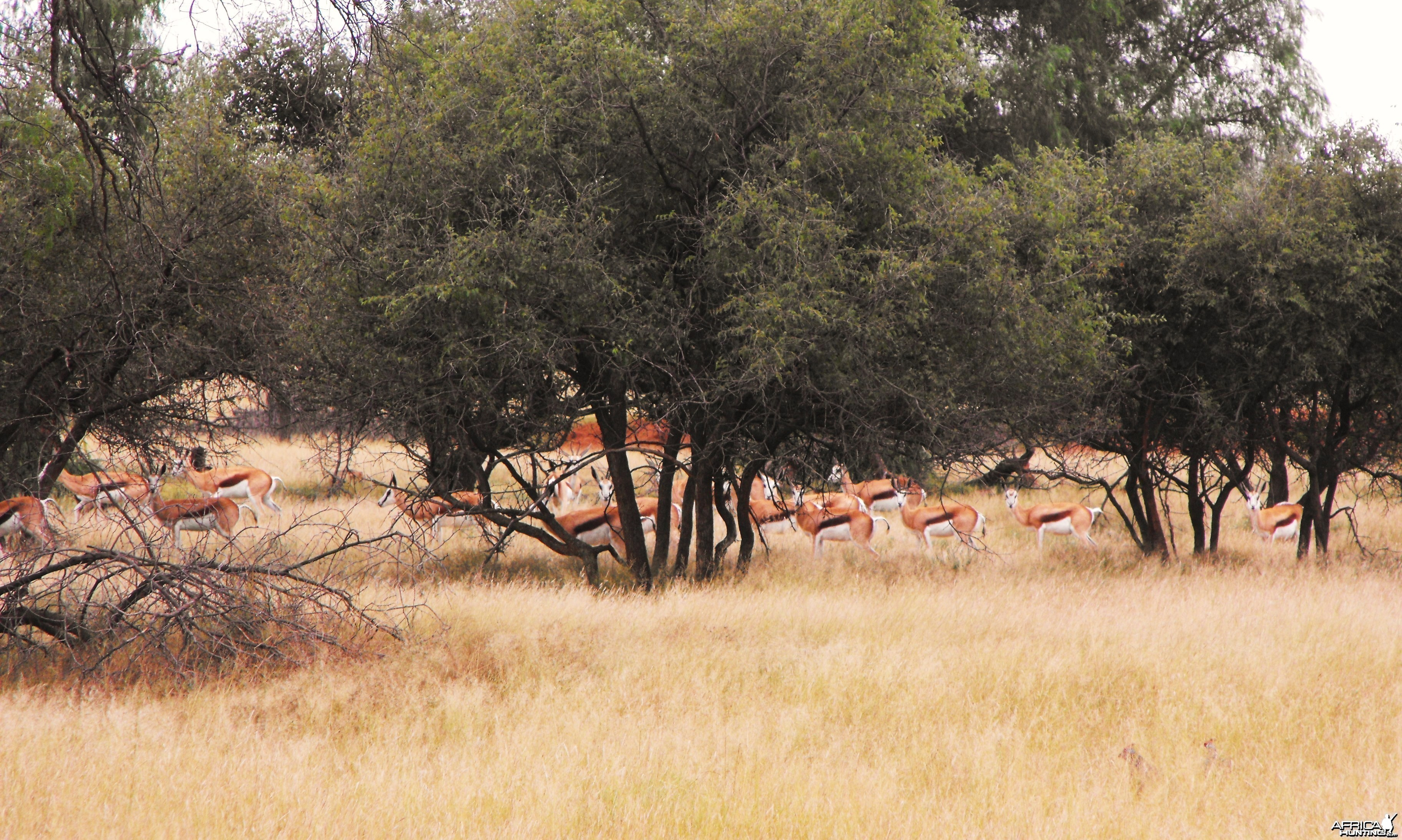 Springbok through the bush