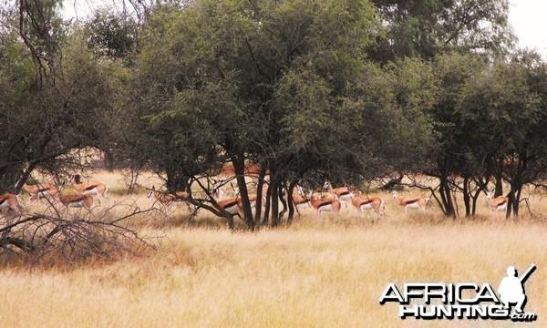 Springbok through the bush