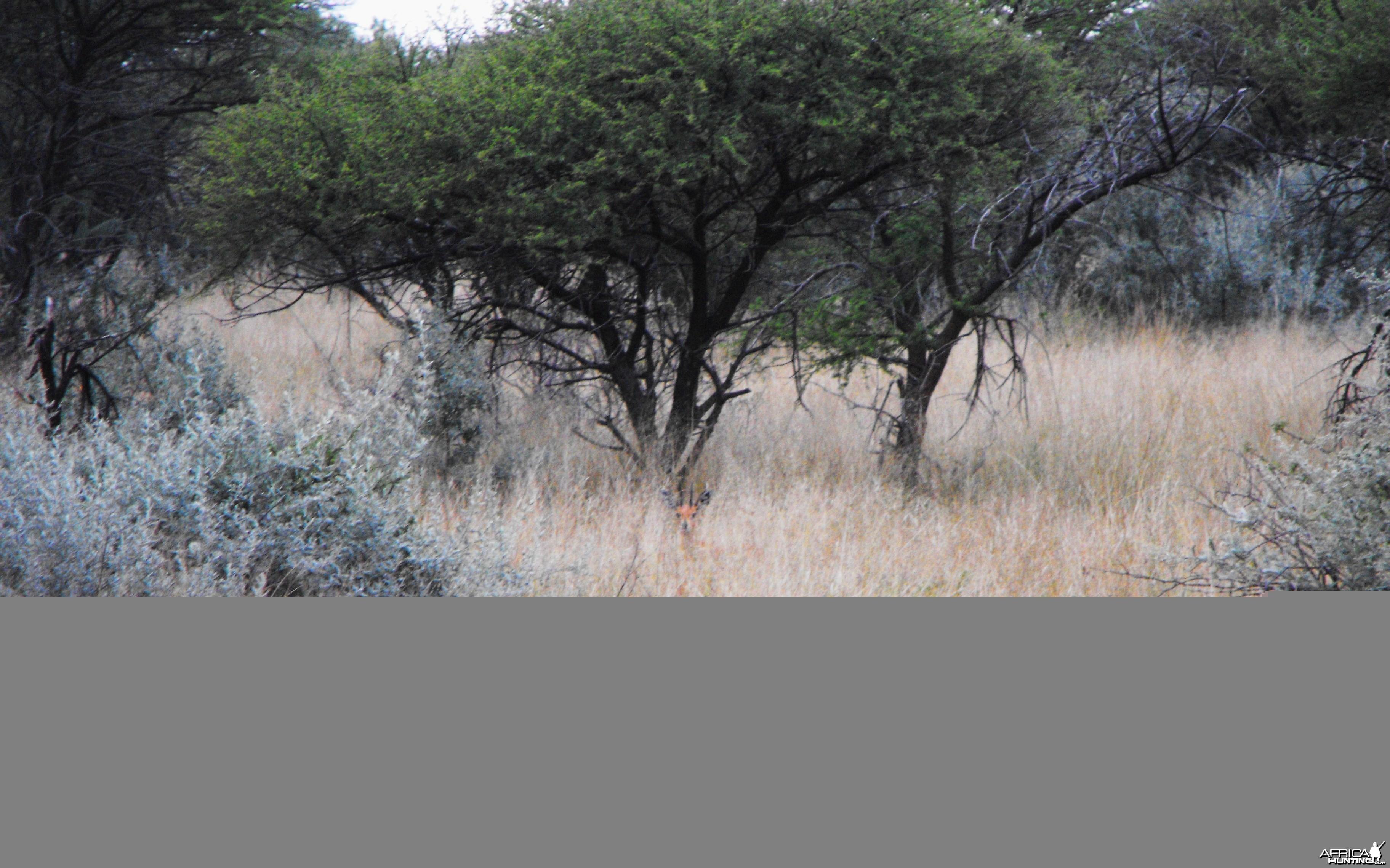 Nice Steenbok ram!