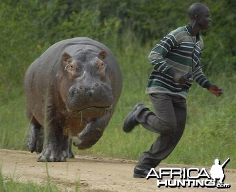 Hippo chases man!!