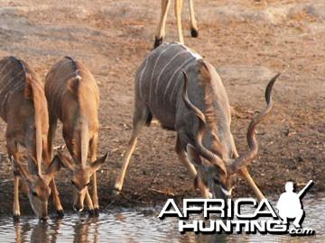 Hunting Kudu Bull