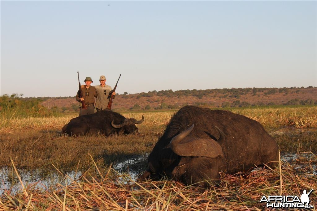 Buffalo hunted in Namibia Chobe flood plains