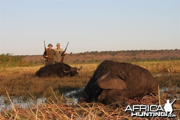 Buffalo hunted in Namibia Chobe flood plains
