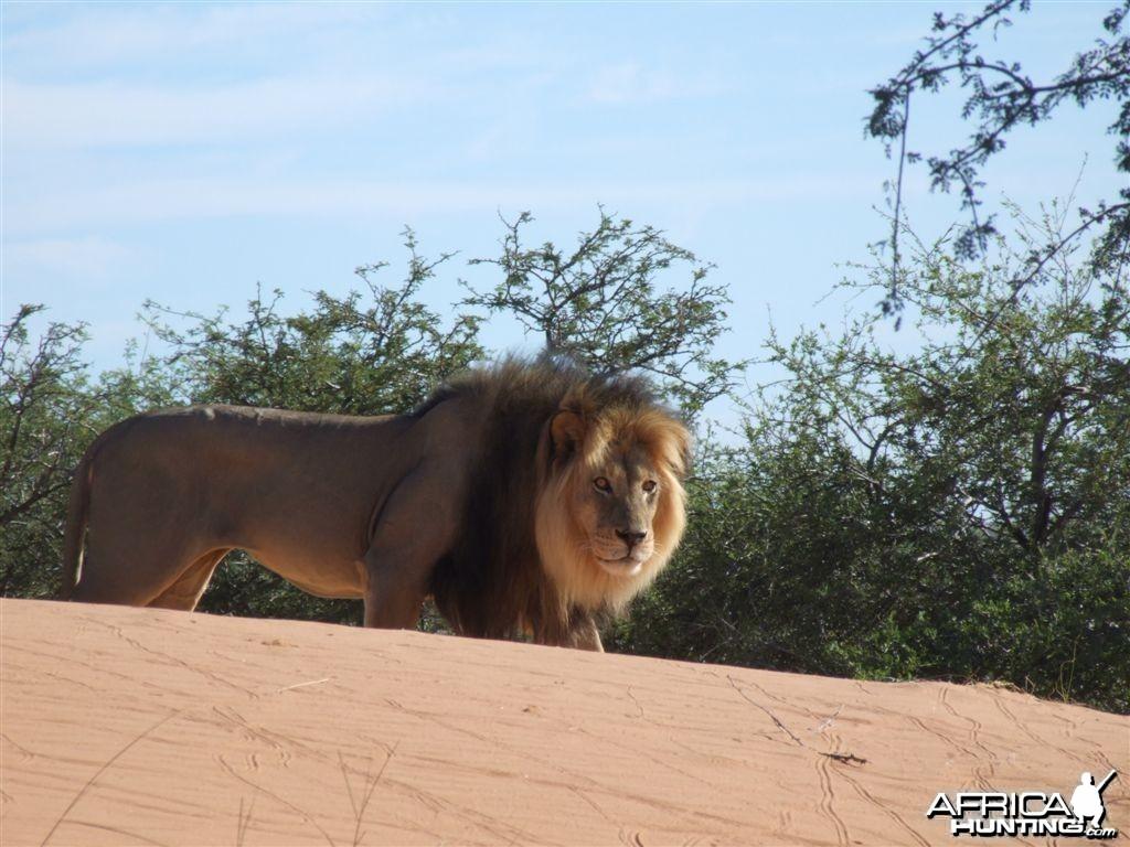 Free range Namibian Lion