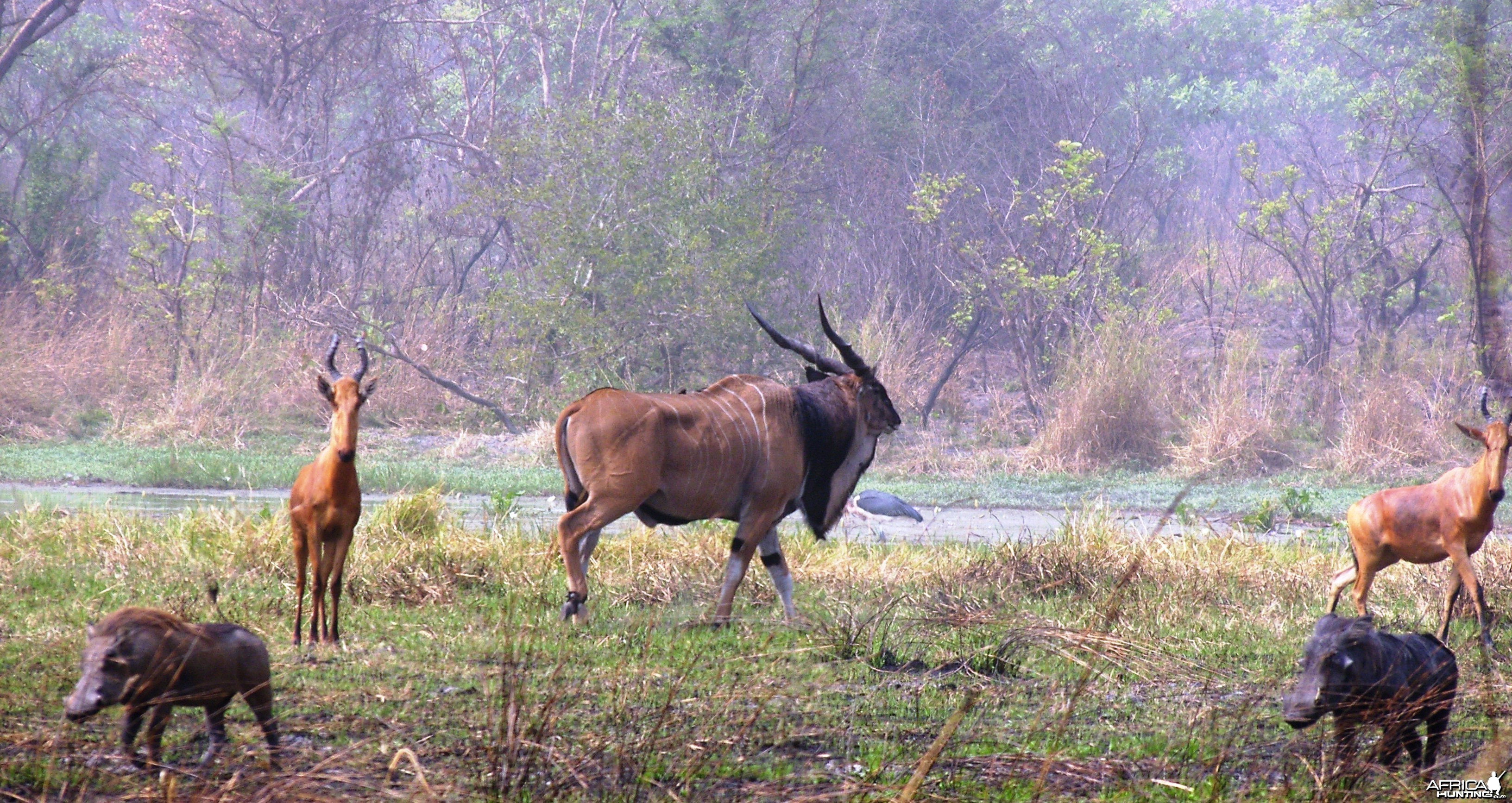 Lord Derby Eland Bull in Central Africa