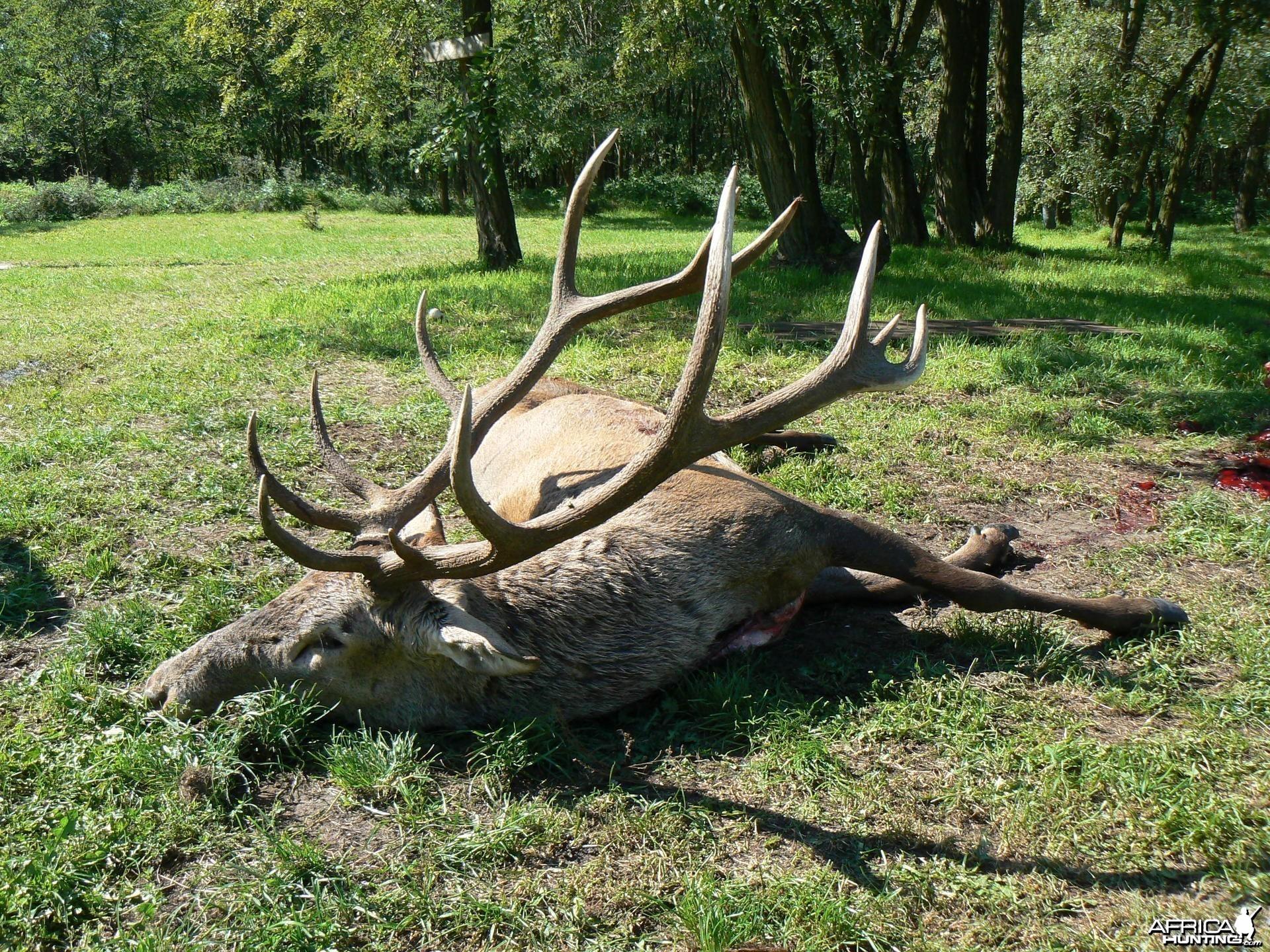 6 kg Red Deer