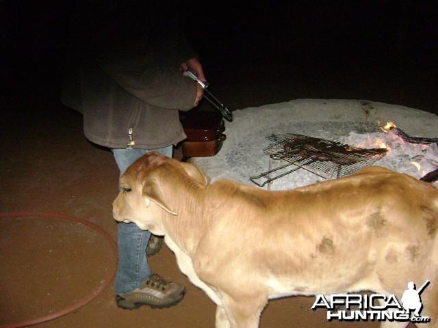 Orphan bull brahman at braai