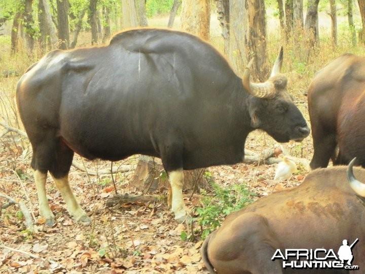 Hunting Gaur Bison