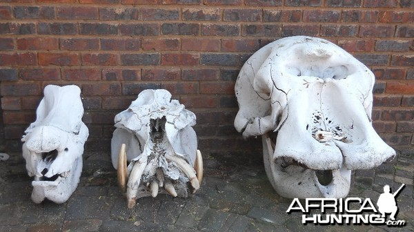 3 Skulls Rhino Hippo Elephant