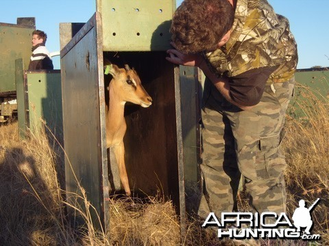 Black impala splits