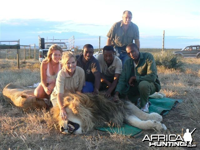 Some of our lions when they are darted